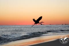 Grand héron, Pensacola, Floride